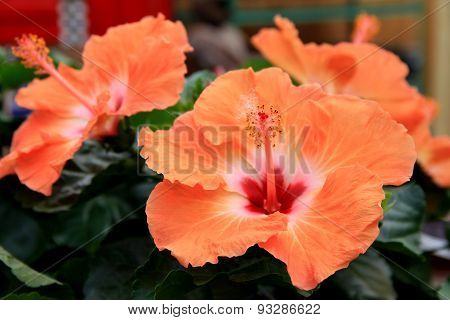 Beautiful Hibiscus in peach tones