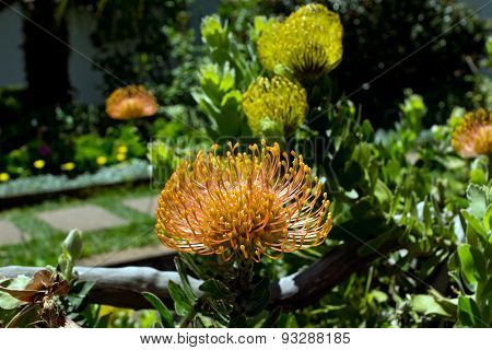 Proteia, beautiful flower, Madeira, Portugal