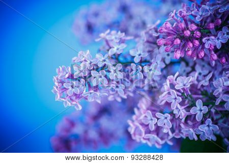 Beautiful Spring Lilac