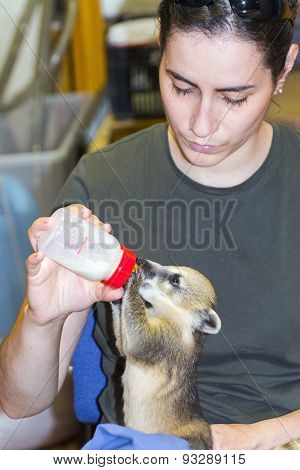South American Coati (nasua Nasua) Baby