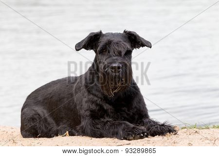 Portrait Of Big Black Schnauzer Dog