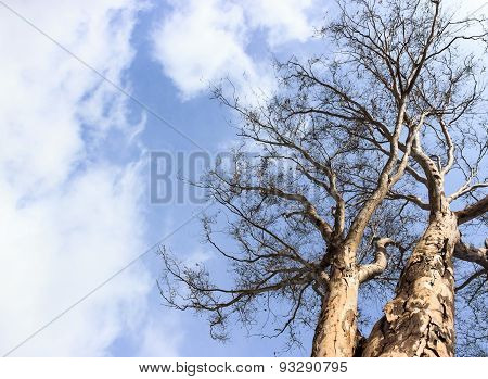 An autumn sunny morning sky with dried leaves in branch of eucalyptus tree
