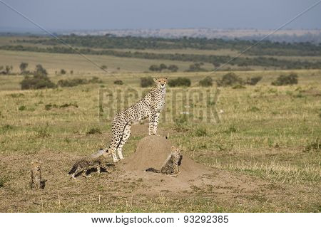 Cheetah Mother With Three Cubs In The Masai Mara