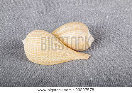 Common Fig Seashells