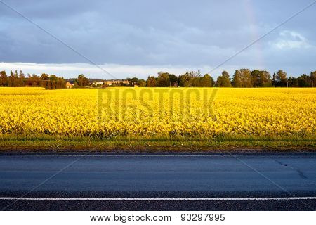 Yellow Rape Field Near The Road.