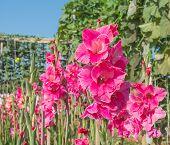 foto of gladiolus  - image of Purple gladiolus flower in the garden - JPG