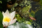 stock photo of camouflage  - Water frog camouflaged in a pond in summer - JPG