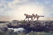 image of cheetah  - Two Cheetahs Running On A Top Of Rock - JPG