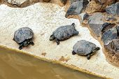 stock photo of swamps  - Turtles or tortoises on stone shore of swamp or pond - JPG