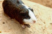 picture of guinea pig  - Guinea pig or hamster on the stone - JPG