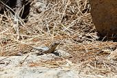 image of dry grass  - Lizard or lacertian reptile sitting on ground with dry grass - JPG