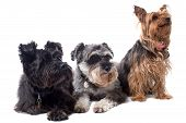 stock photo of schnauzer  - Portrait of Black Terrier Grey Schnauzer and Yorkshire Terrier Sitting Side by Side and Looking to Side in Same Direction in Studio on White Background - JPG