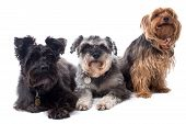 pic of schnauzer  - Portrait of Black Terrier Grey Schnauzer and Yorkshire Terrier Sitting Side by Side and Looking to Side in Same Direction in Studio on White Background - JPG