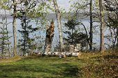 foto of conifers  - White Birch and Conifer Trees at Fort Point State Park - JPG