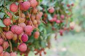 foto of orchard  - fresh lychee on tree in lychee orchard - JPG