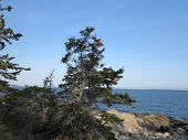 picture of conifers  - Pine or Conifer Tree with Penobscot Bay and Rocky Main Coast at Twilight - JPG