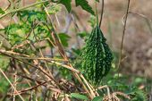 stock photo of bitters  - Green Bitter gourd fruit - JPG