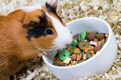 stock photo of guinea pig  - Spotted guinea pig eating food  closeup - JPG