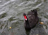 stock photo of black swan  - Black swan swim on the water - JPG