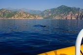 stock photo of dolphin  - Dolphins in the gulf of Porto in Corsica France - JPG