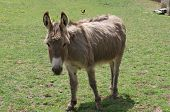 picture of donkey  - a donkey in the French countryside farm - JPG