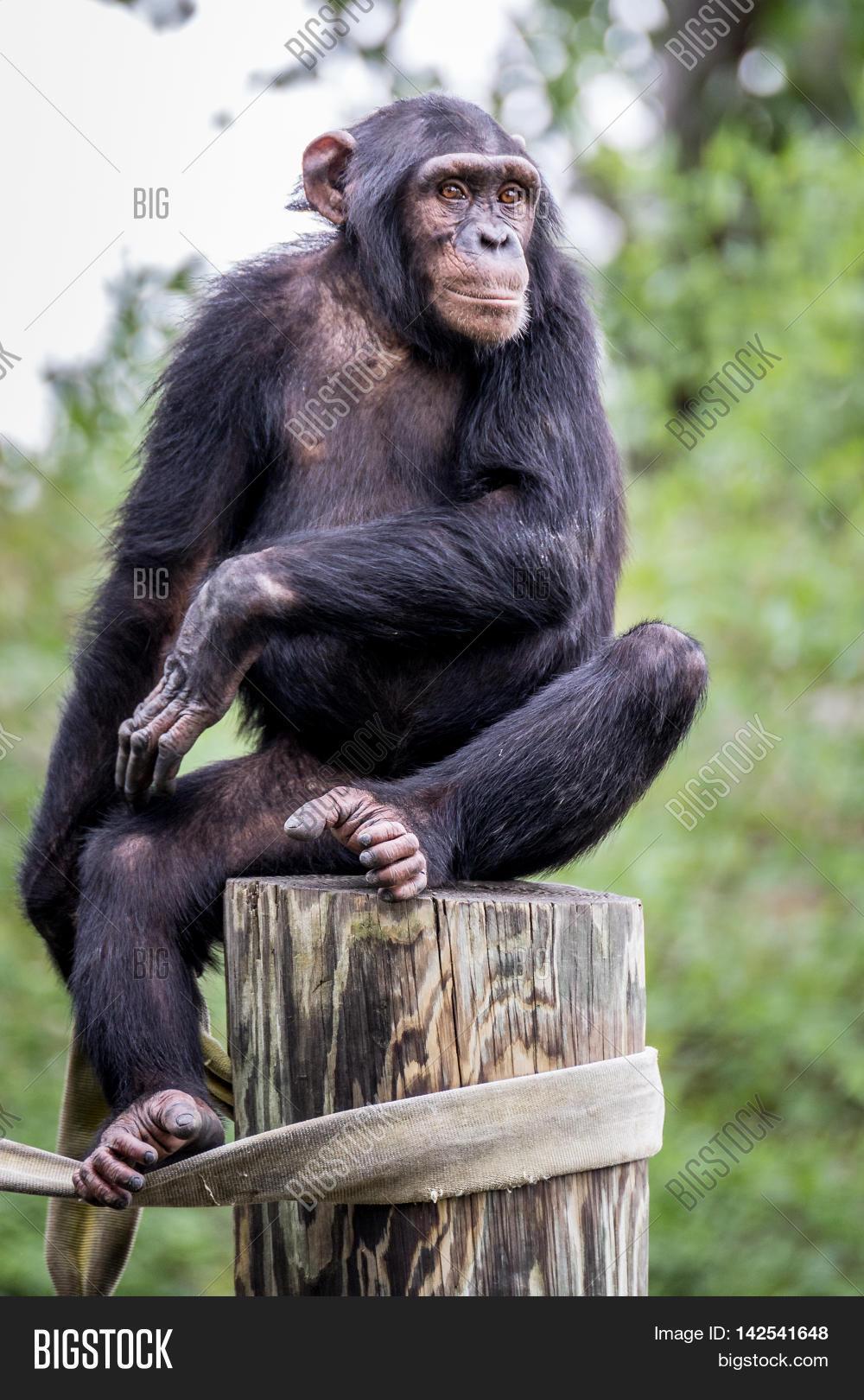 Chimfunshi | Honeysun  |Chimp Sitting