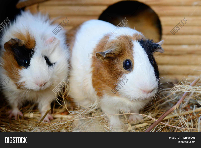 Cute white guinea pig