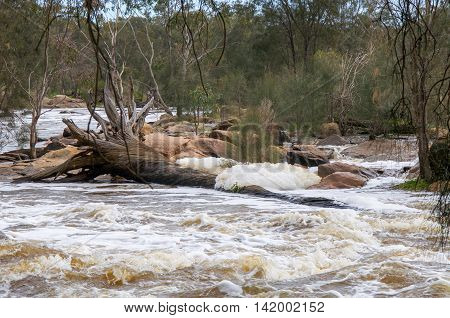 Fallen tree with large roots and white water foam in the Bell Rapids of the Swan and Avon River intersection in the Swan Valley in Western Australia.