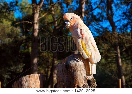 The Salmon-crested Cockatoo Perching On A Tree Stump