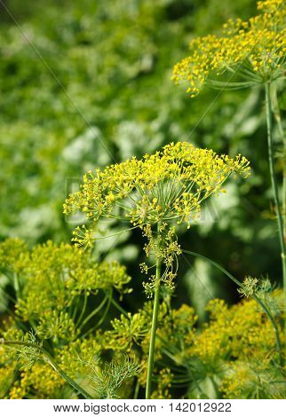 Macro of dill inflorescence over sunny garden background