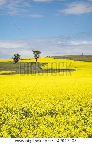 Canola field in rural Western Australia - York