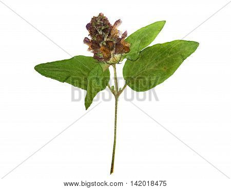 Pressed and dried flowers on stalk Prunella vulgaris. Isolated on white background. For use in scrapbooking floristry (oshibana) or herbarium.