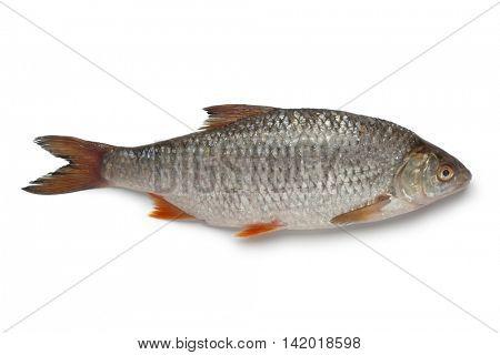 Single fresh raw common roach on white background