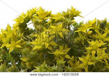 Yellow flowering Sedum acre in springtime close up