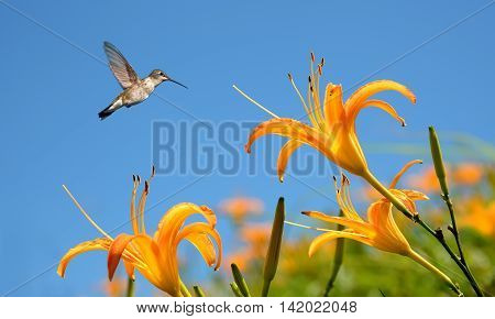 Hummingbird in flight with tropical lily flower over blue sky background