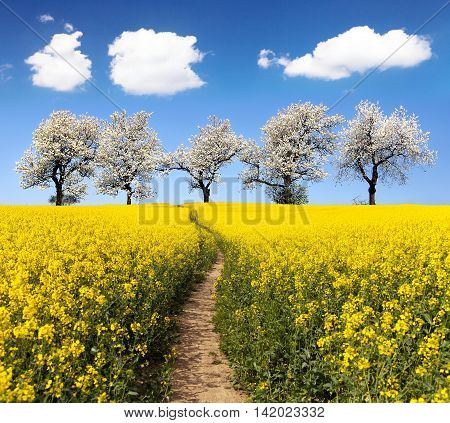 Rapeseed field with parhway and alley of flowering cherry trees - Brassica Napus - plant for green energy and oil industry