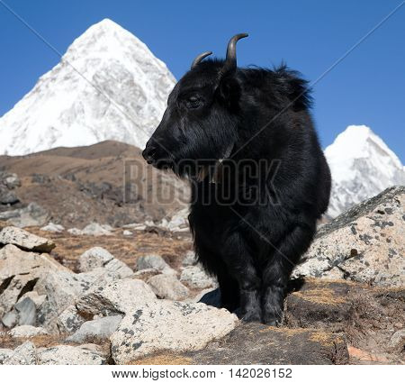 Yaks on the way to Everest base camp and mount Pumo ri - Nepal