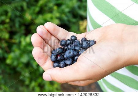 Freshly Picked Blueberries In Child's Hand. Leafy Background.