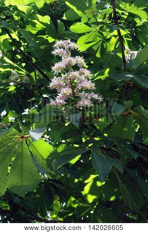 Flowering branch of chestnut; sun's rays shine through leaves. Yellow spots on flowers turn red after flowers cease to allocate nectar
