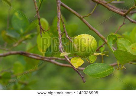 Lime Tree With Fruits Closeup