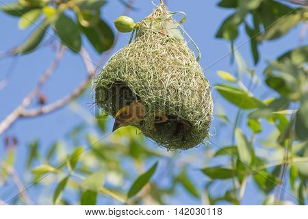 Baya Weaver bird with yellow head perching on its half-built pendant nests hanging on tree branches in the forest, Thailand (Ploceus philippinus)