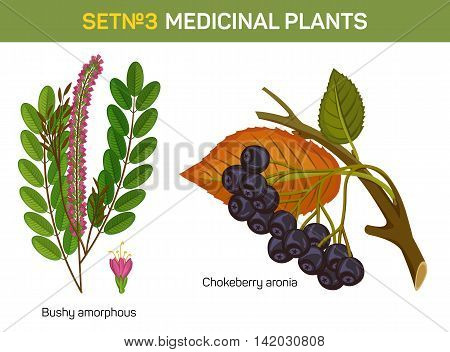 Aronia melanocarpa or arbutifolia, prunifolia or chokeberry branch with stem and leaf, bushy amorphous. Red or black, purple berries. Medicinal or medical berry. Herbal plants