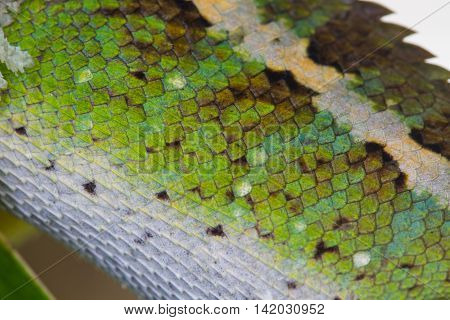 Close Up Skin Of Green Crested Lizard