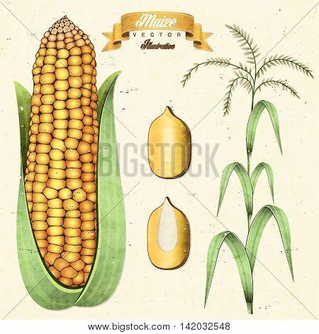 Retro vintage maize illustration. Vector corn. Realistic, hand drawn, isolated maize illustration.