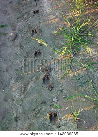 Wild Animal Traces In A Wet Soil