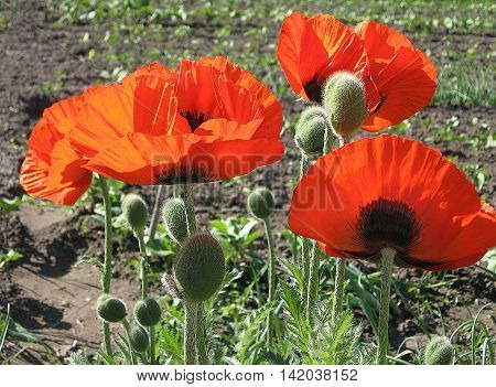 Some poppies on green field in sunny day. Color photo of flowers. Photo for backgrounds.