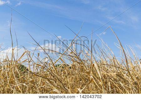 Close up dry grass with blue sky