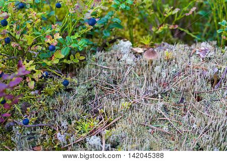 wild autumn landscape closeup with berries on a bush of bilberry and a small toadstool or a mushroom on a hummock