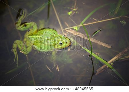 Frog, green toad in the water. shooting outdoor