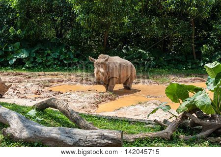 African White Rhino enjoying bath and sun